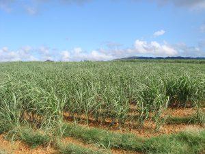 sugar-cane-fields-568665_640